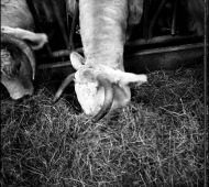 vaches-04